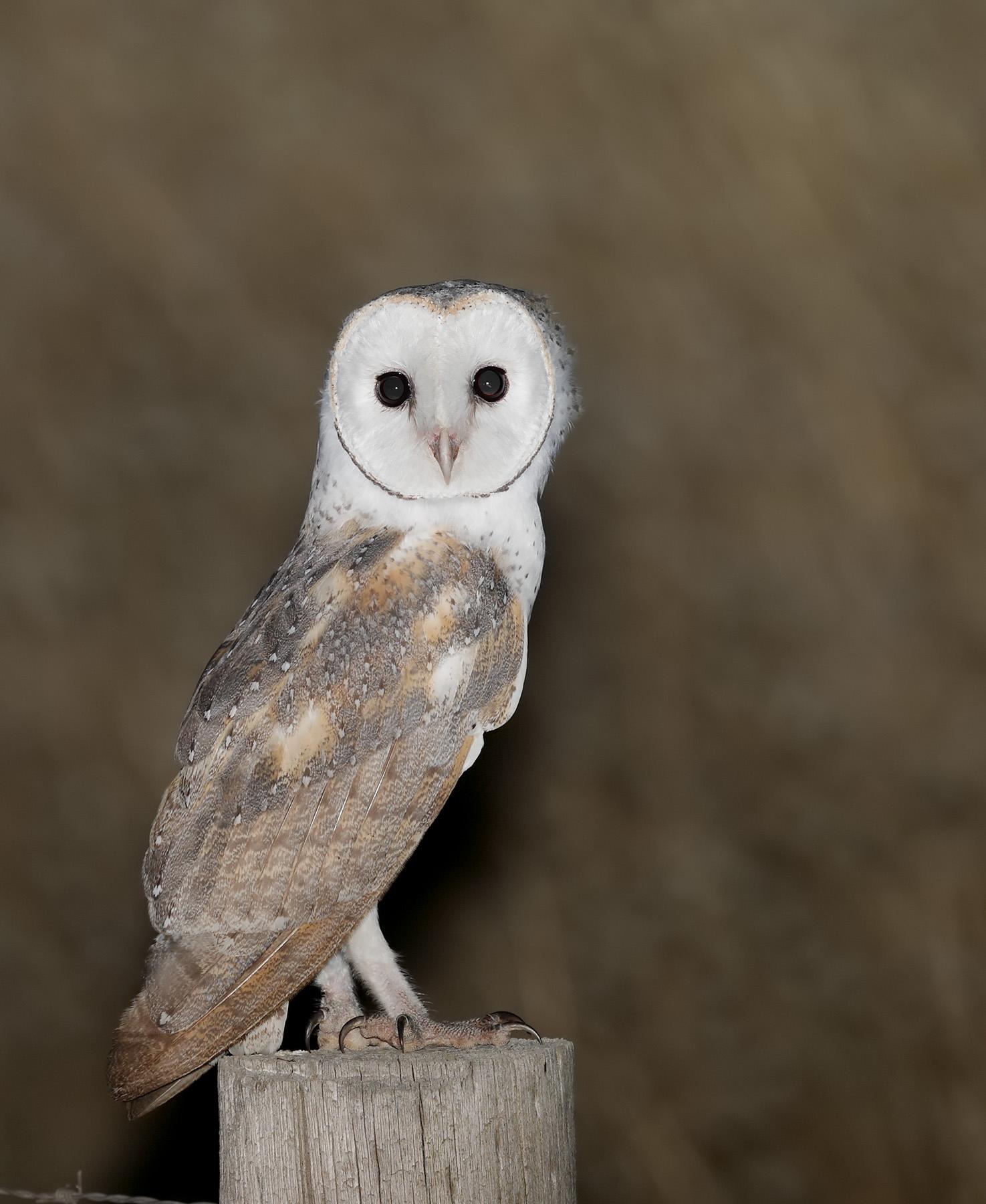 Barn Owl (Image ID 33590)