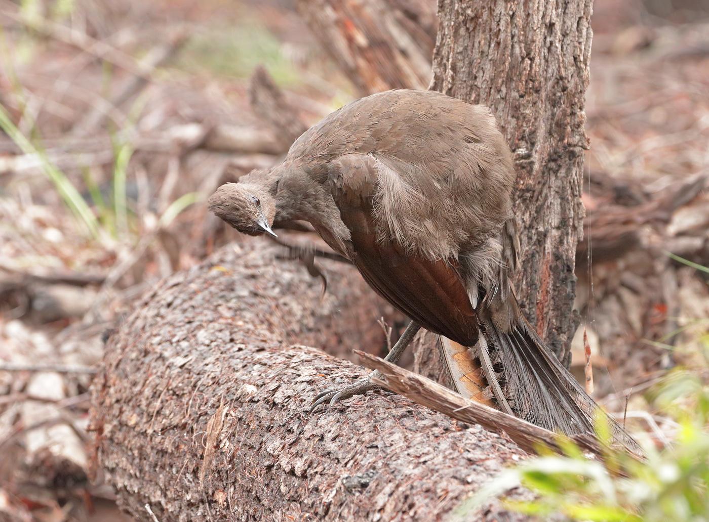 Superb Lyrebird (Image ID 33665)