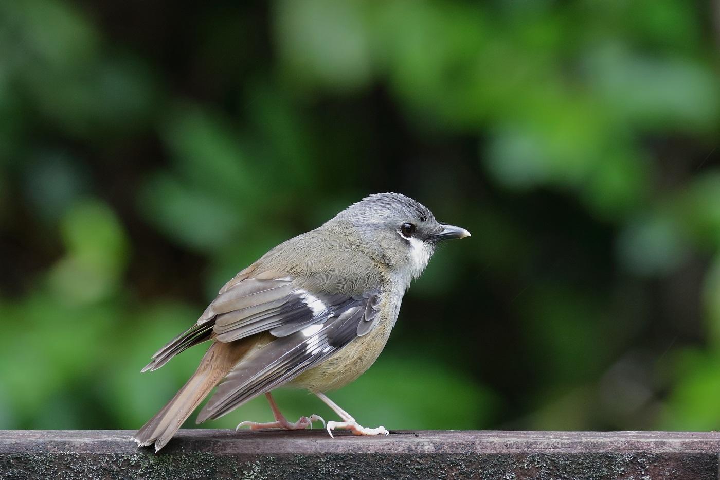 Grey-headed Robin (Image ID 33598)