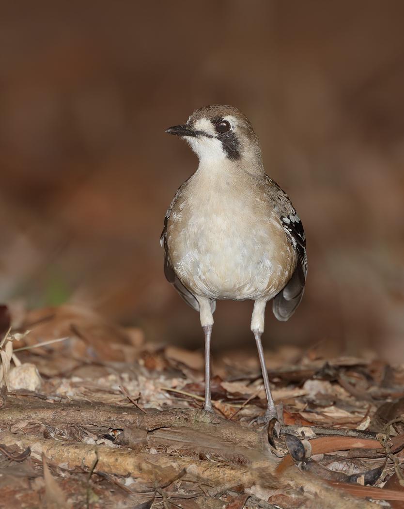 Northern Scrub-robin (Image ID 33735)
