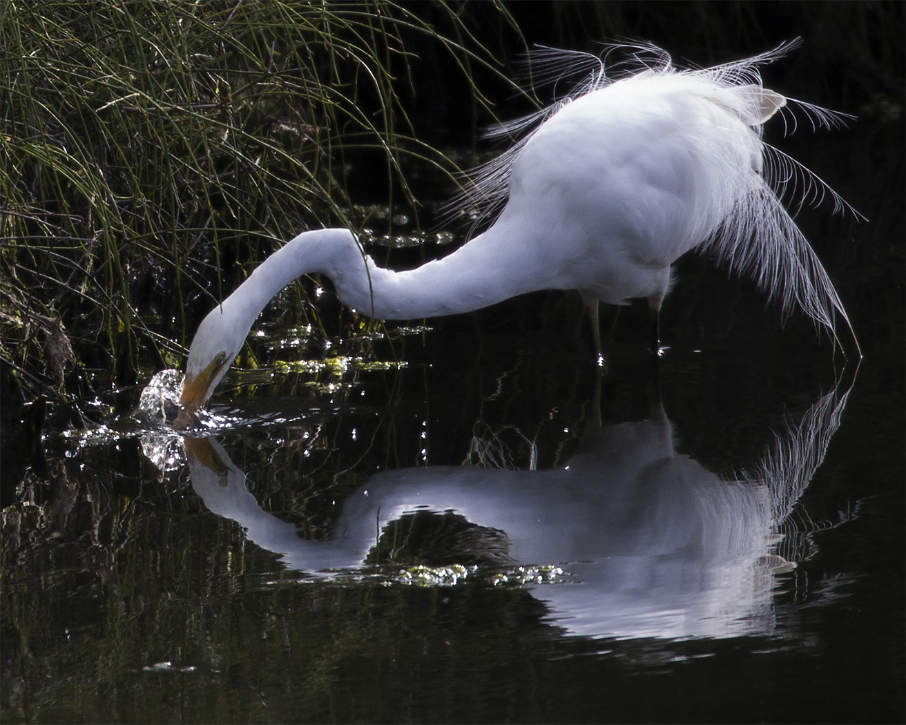 Great Egret (Image ID 33772)