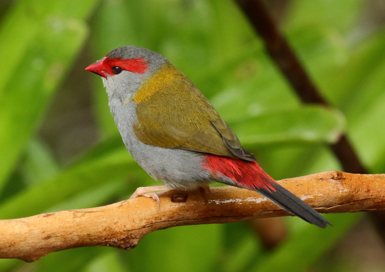 Red-browed Finch (Image ID 33758)