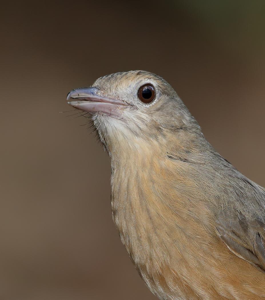 Little Shrike-thrush (Image ID 33661)