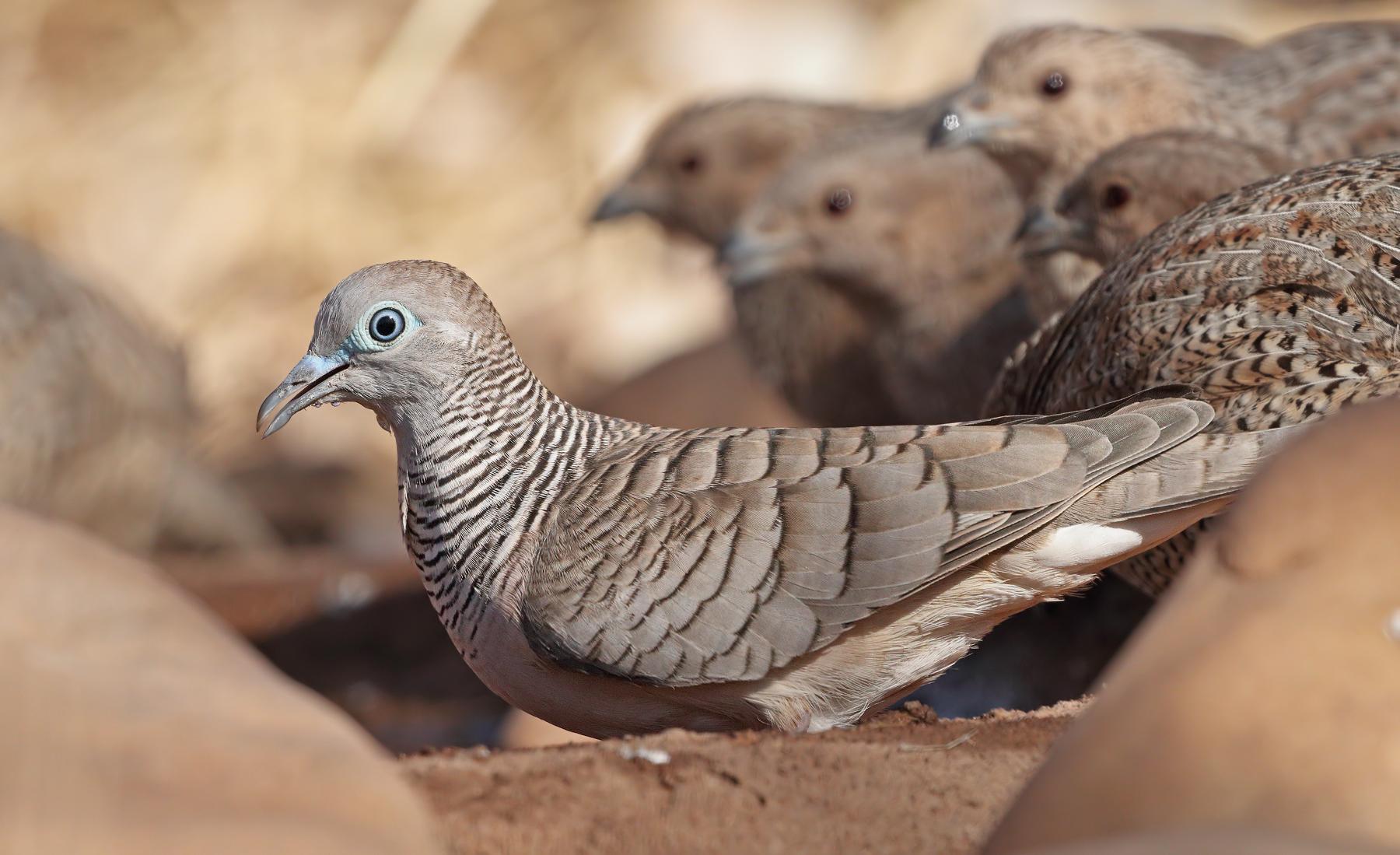 Brown Quail,Peaceful Dove (Image ID 33866)