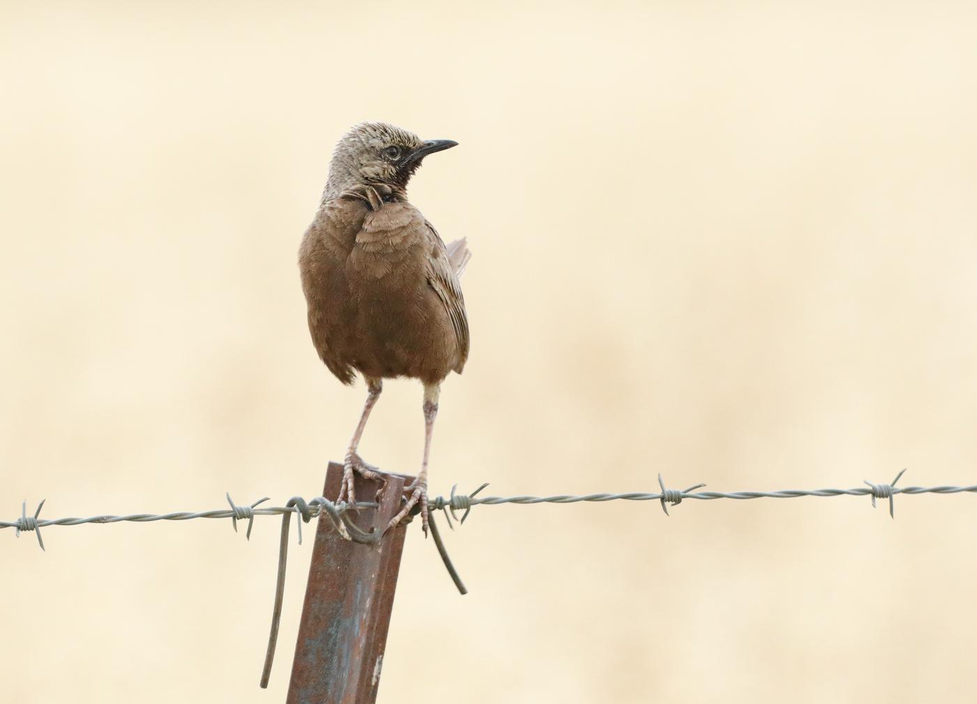 Brown Songlark (Image ID 33857)