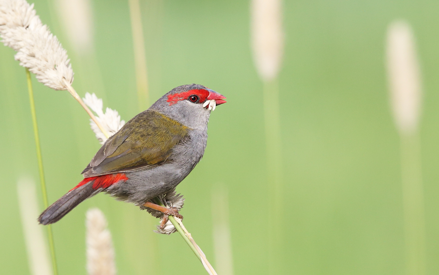 Red-browed Finch (Image ID 33780)