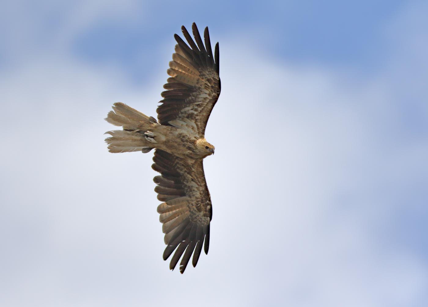 Whistling Kite (Image ID 33543)