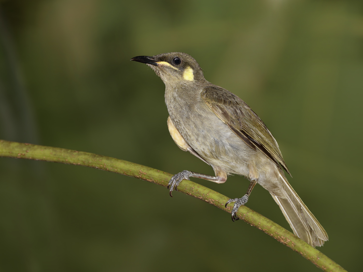 Yellow-spotted Honeyeater (Image ID 33727)