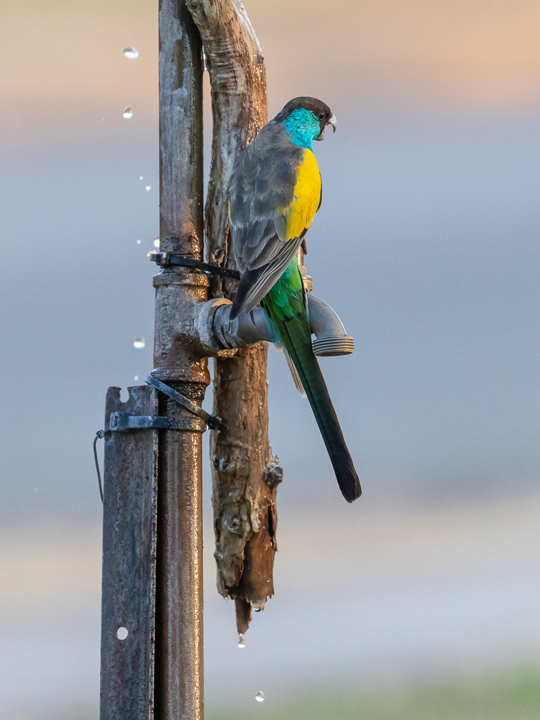 Hooded Parrot (Image ID 33793)