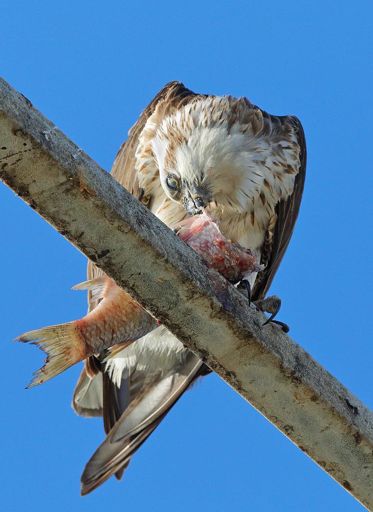 Osprey (Image ID 33803)