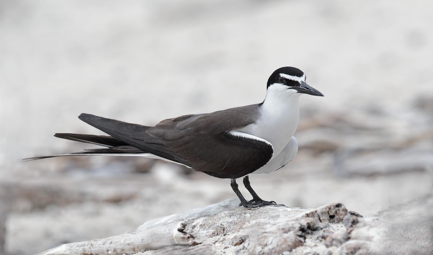Bridled Tern (Image ID 33748)