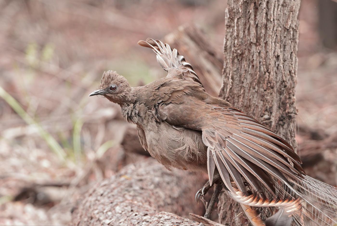 Superb Lyrebird (Image ID 33666)