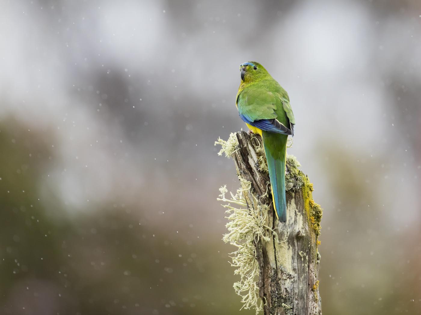 Orange-bellied Parrot (Image ID 33300)