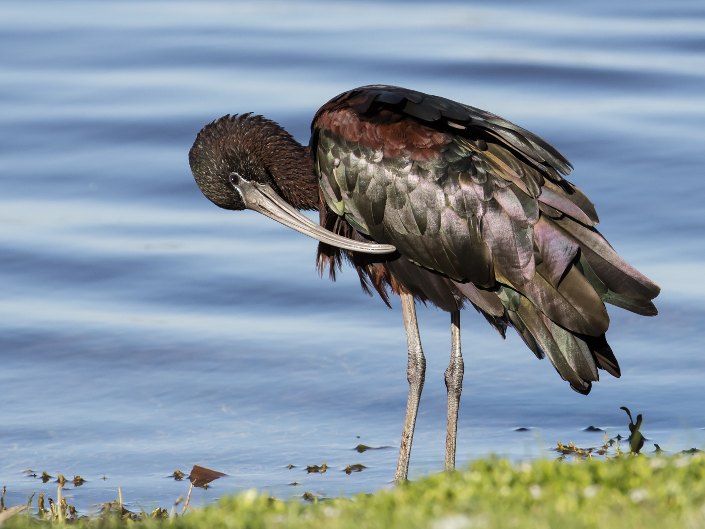 Glossy Ibis (Image ID 33842)