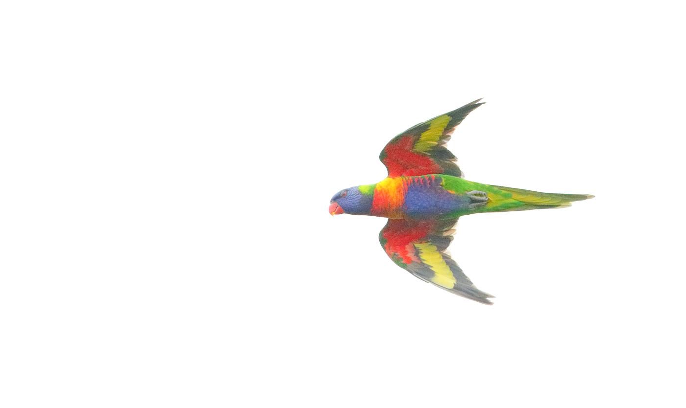 Rainbow Lorikeet (Image ID 33307)