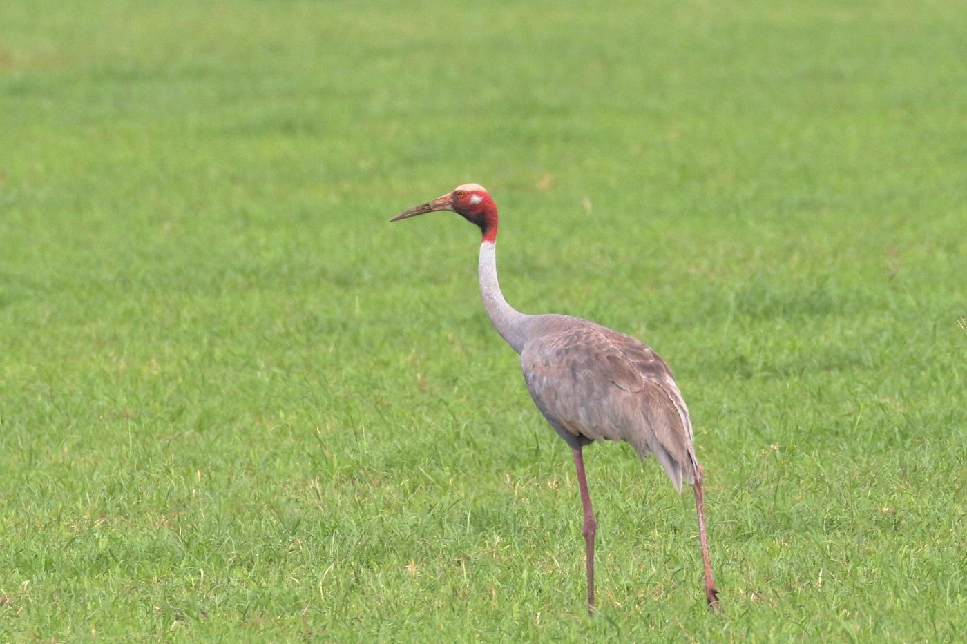 Sarus Crane (Image ID 33324)