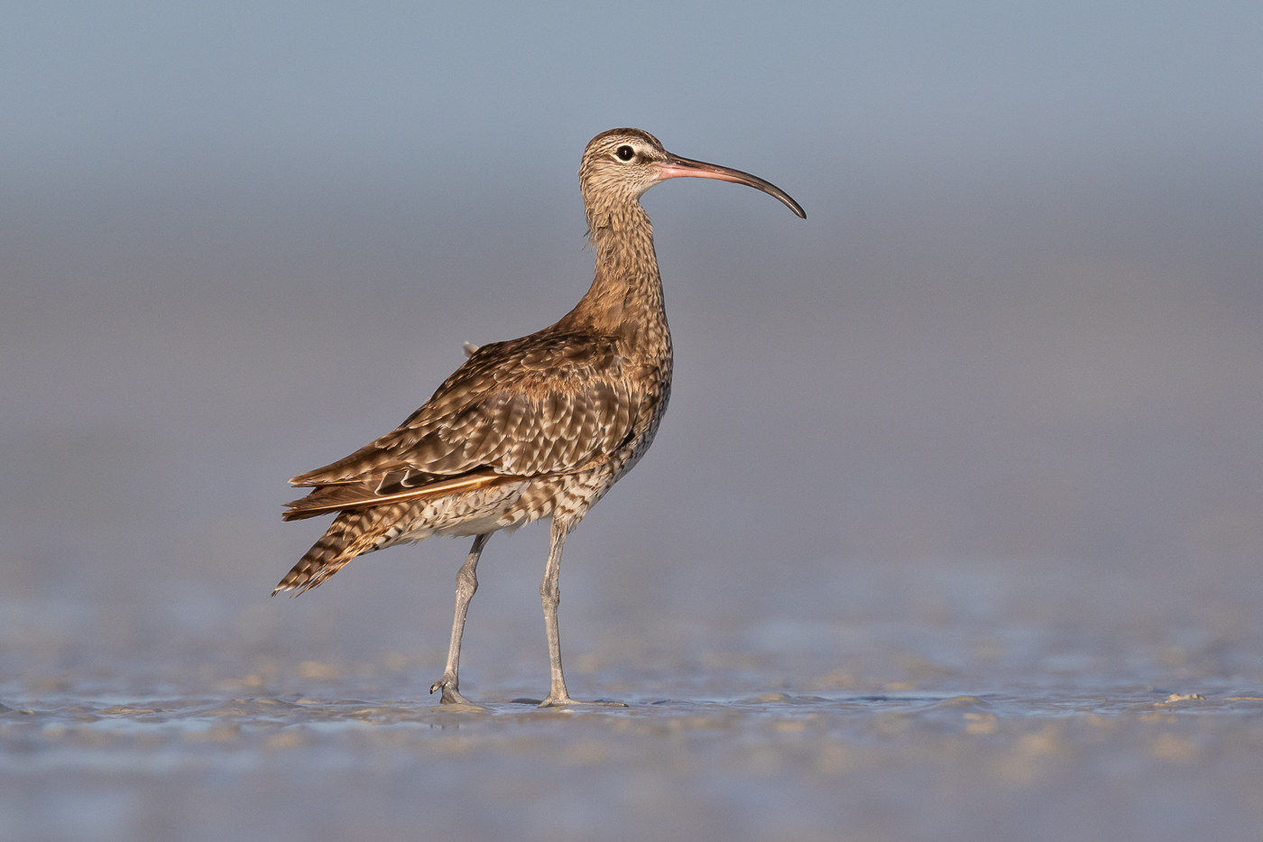 Whimbrel (Image ID 33854)
