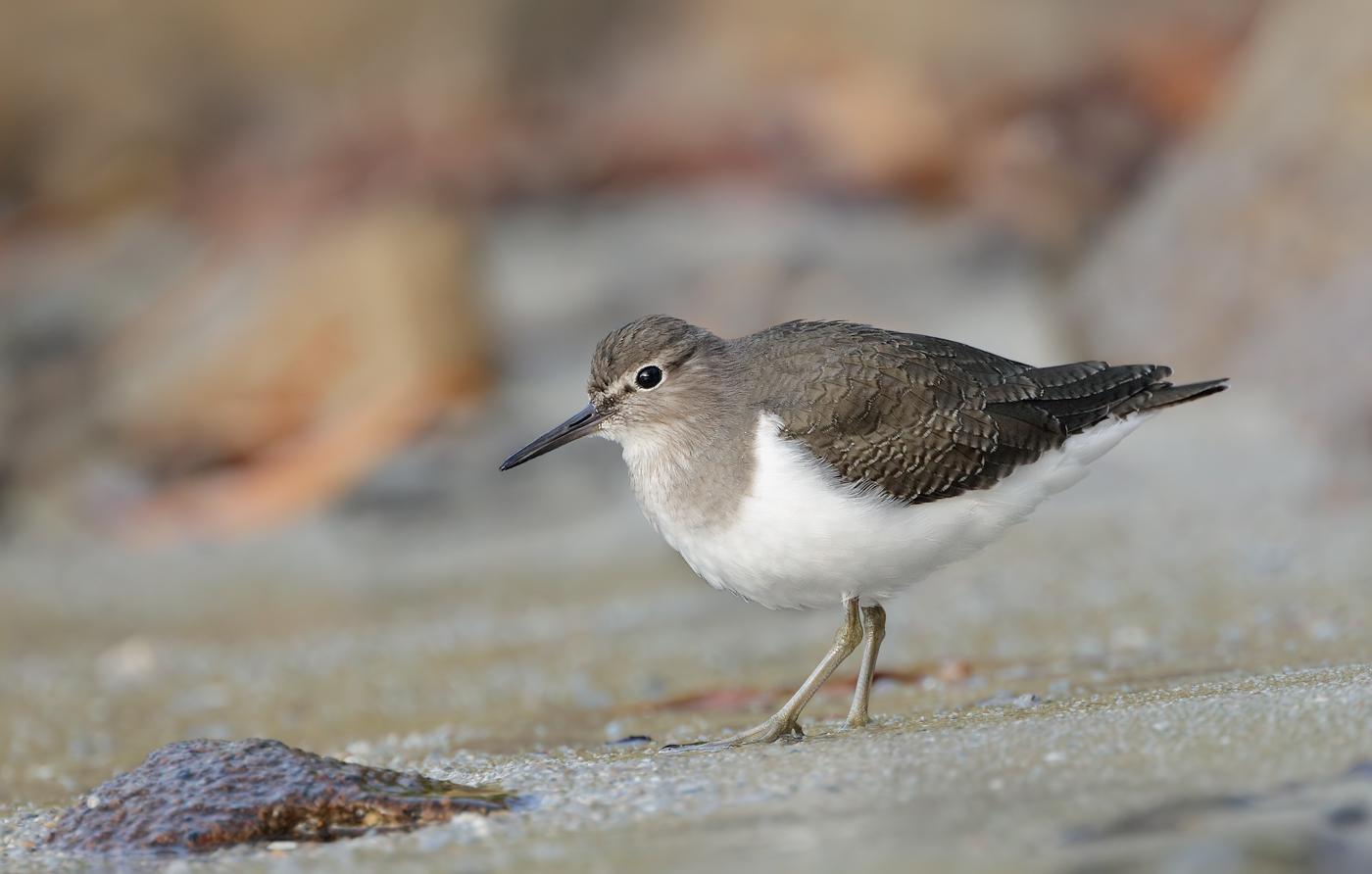 Common Sandpiper (Image ID 33794)