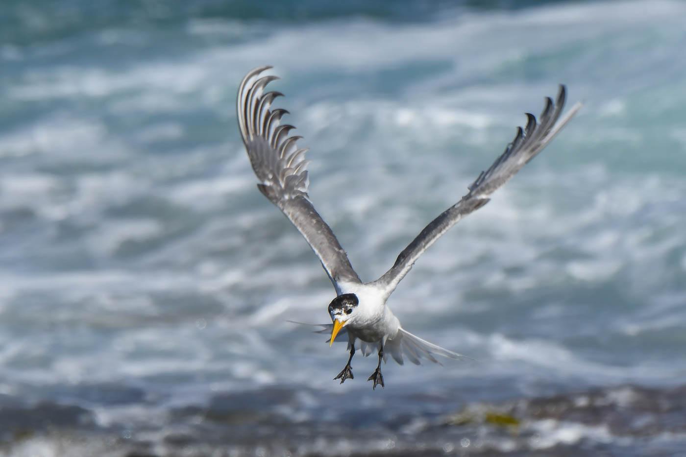 Little Tern (Image ID 33263)