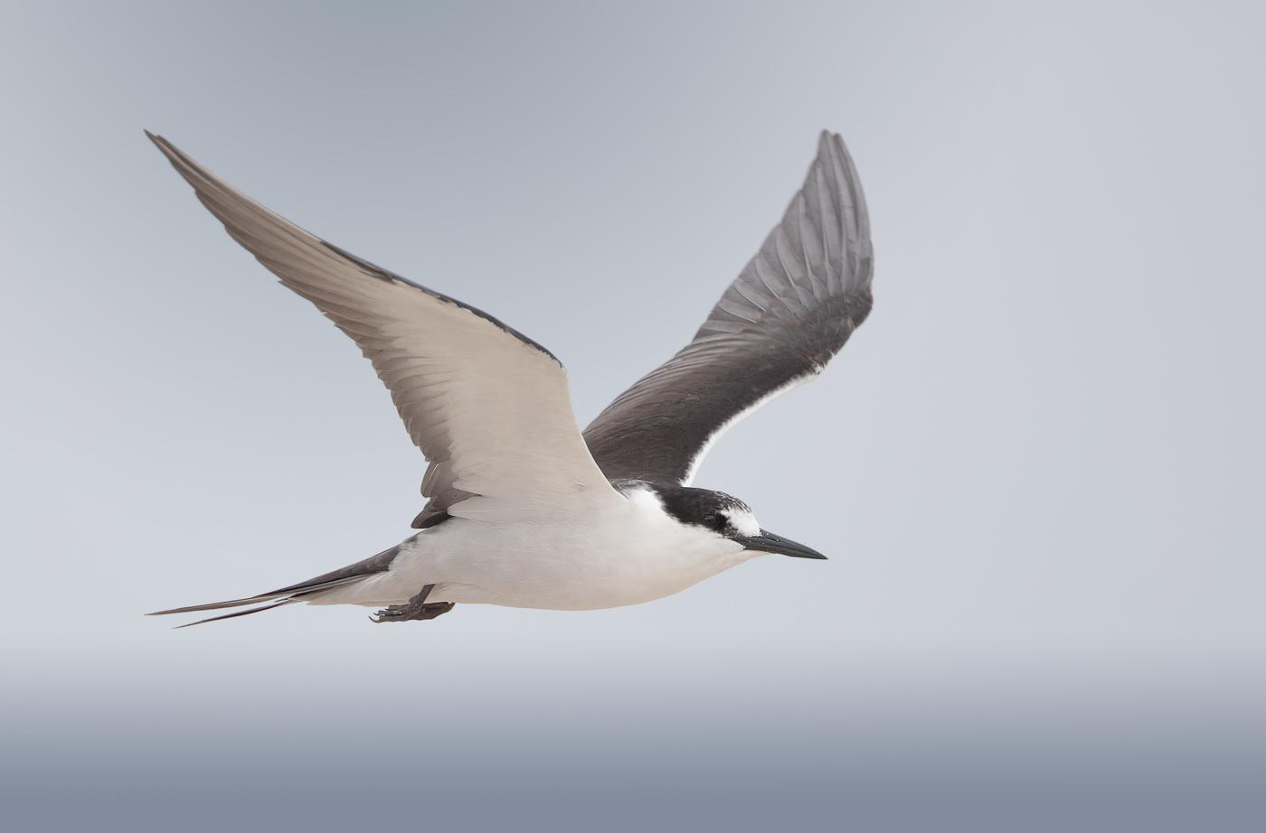 Sooty Tern (Image ID 33270)