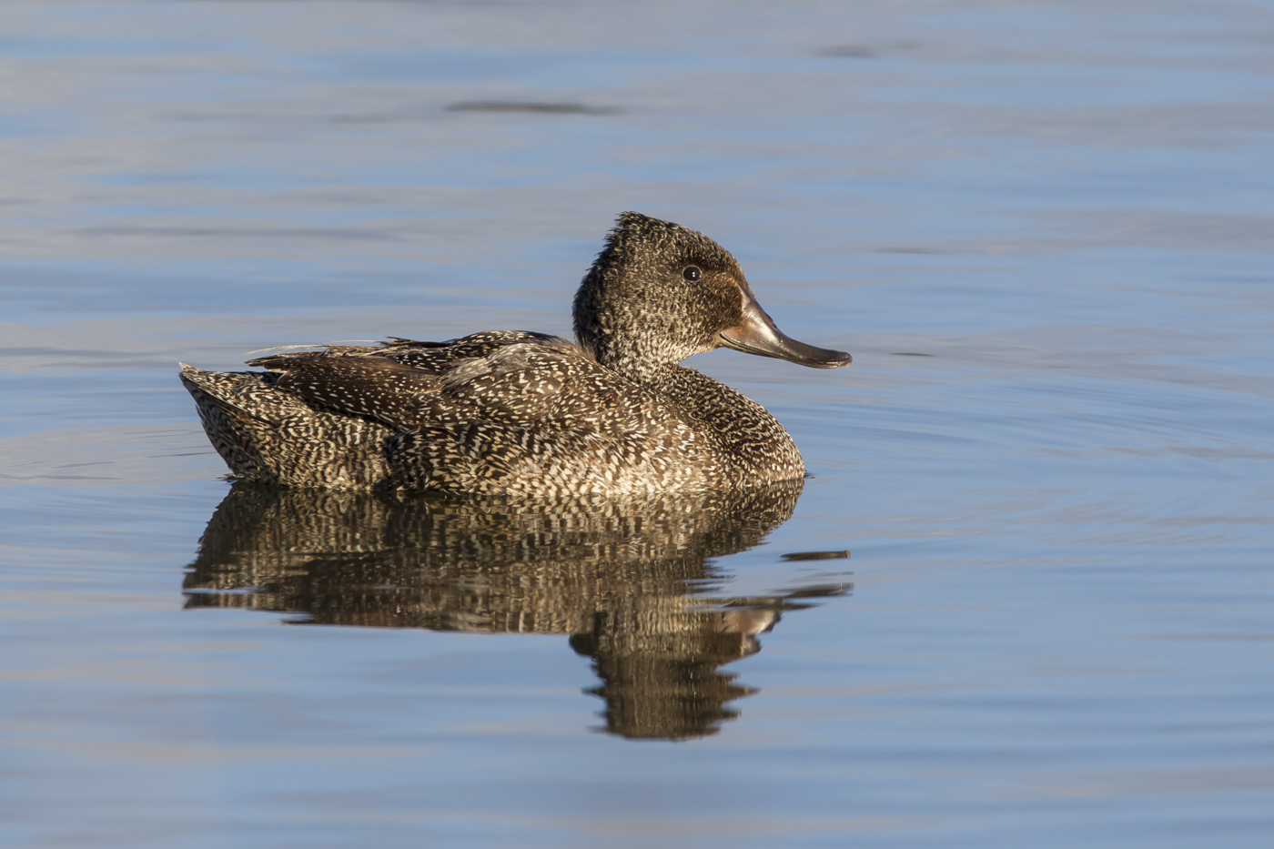 Freckled Duck (Image ID 33739)