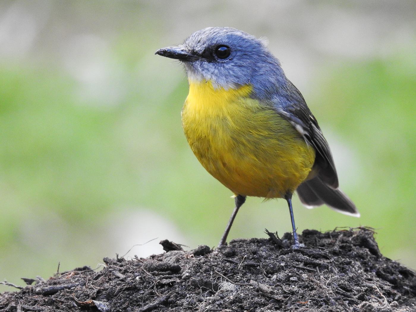 Eastern Yellow Robin (Image ID 33786)