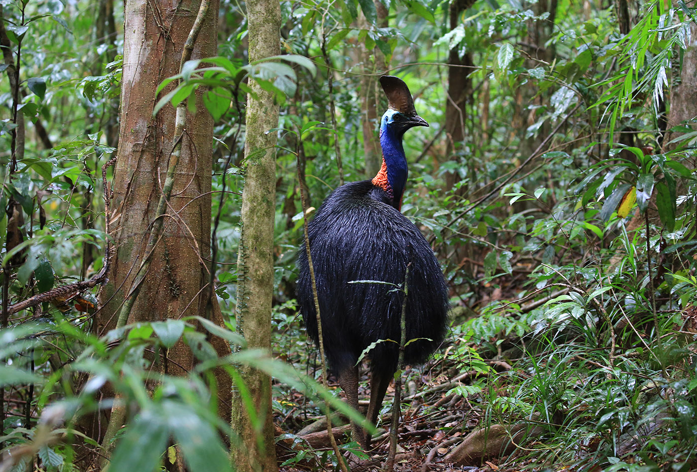 Southern Cassowary (Image ID 33635)