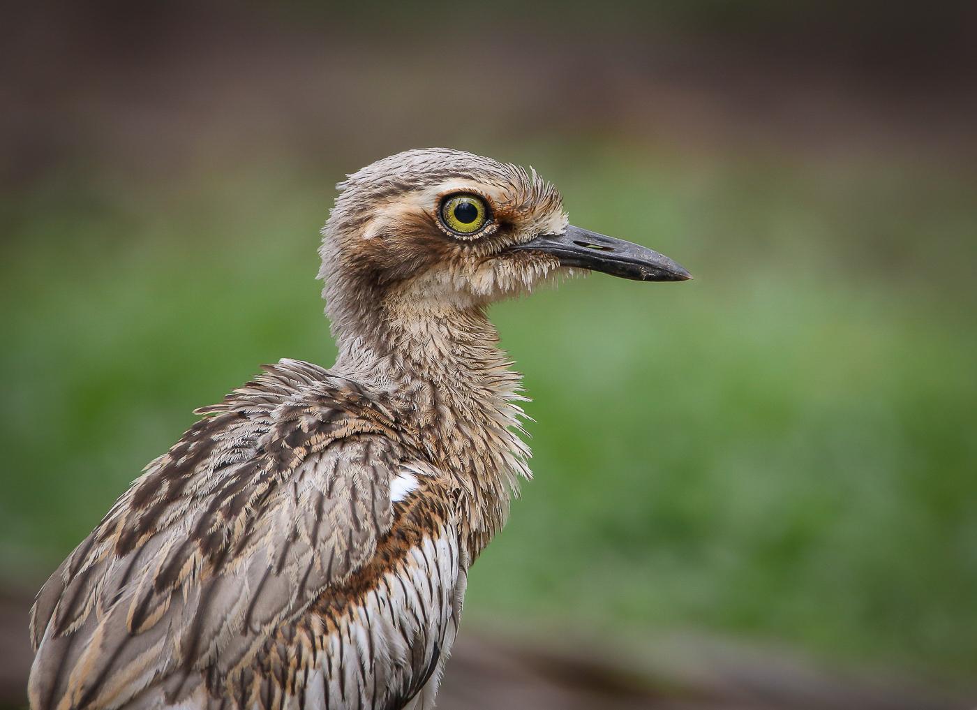 Bush Stone-curlew (Image ID 33756)