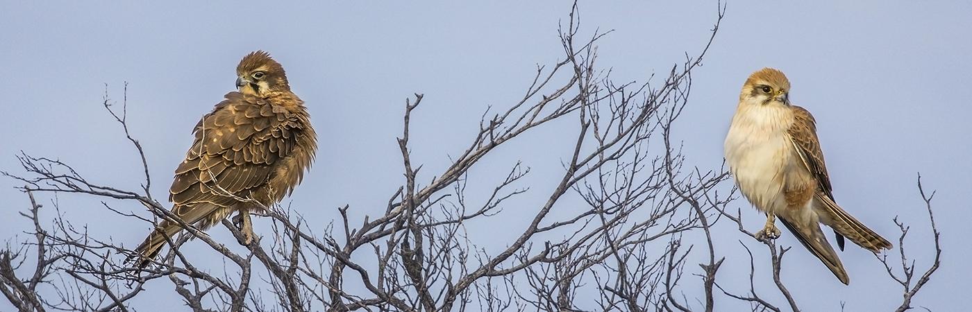 Brown Falcon (Image ID 33283)