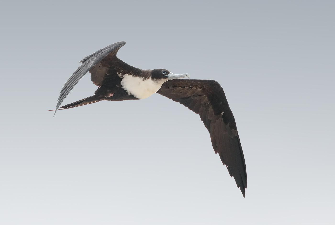 Great Frigatebird (Image ID 33332)