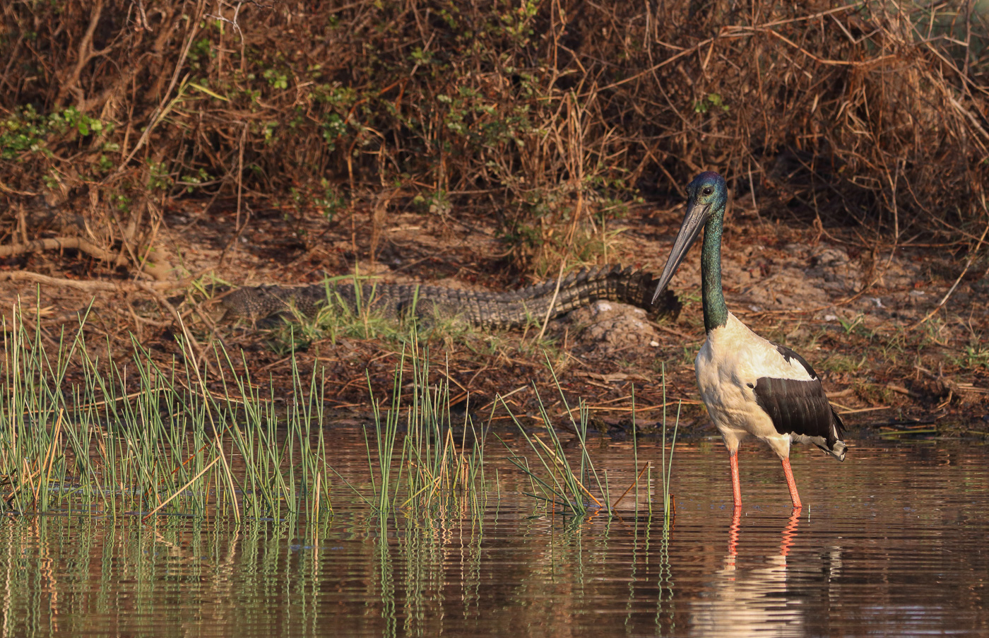 Black-necked Stork (Image ID 33871)