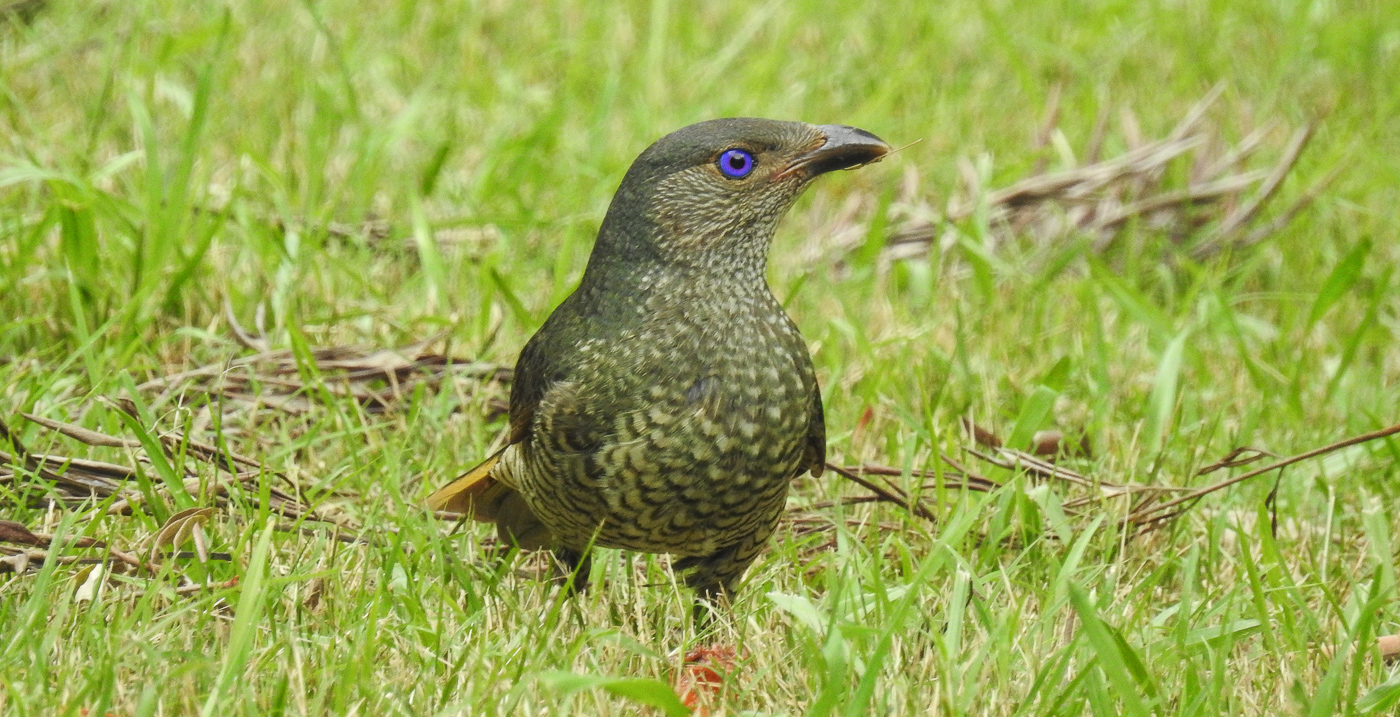 Satin Bowerbird (Image ID 33628)
