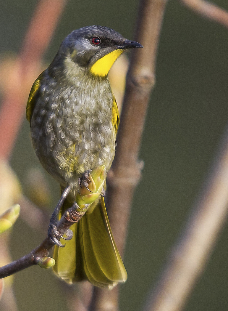 Yellow-throated Honeyeater (Image ID 33581)