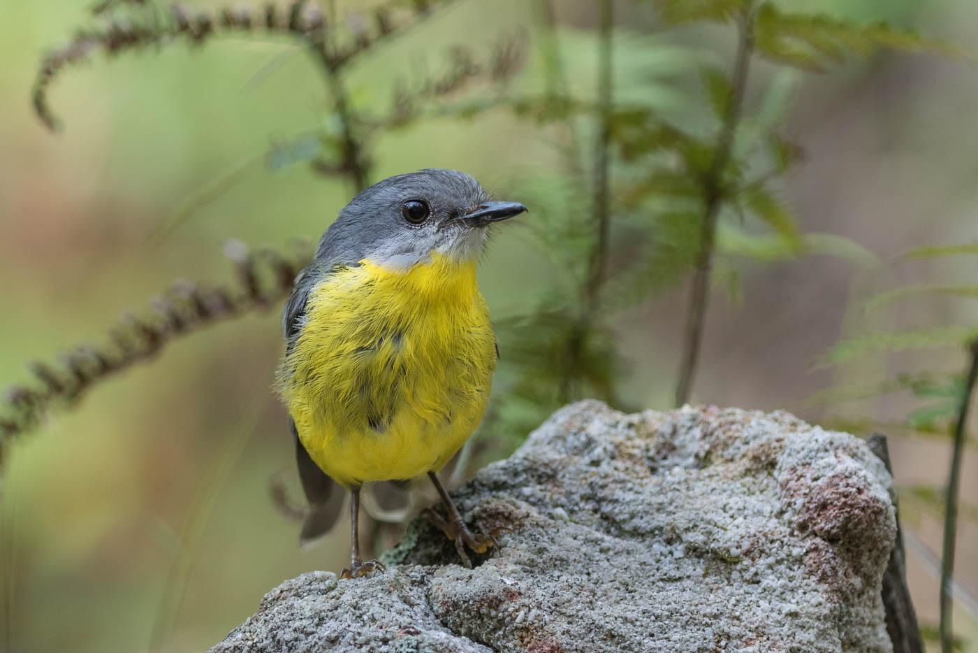 Eastern Yellow Robin (Image ID 33669)