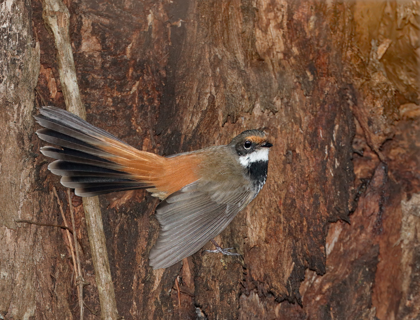 Rufous Fantail (Image ID 33806)