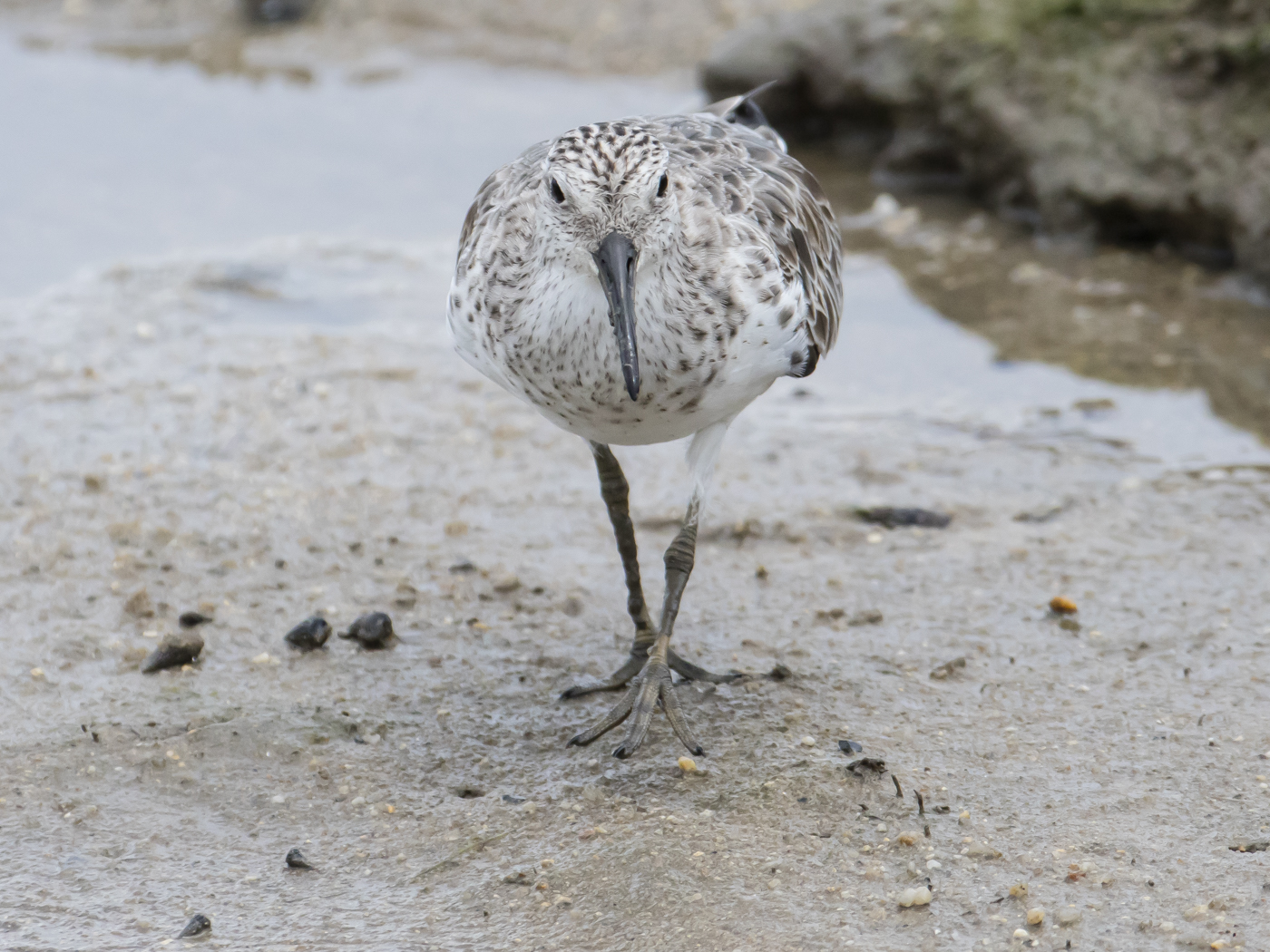 Great Knot (Image ID 33734)