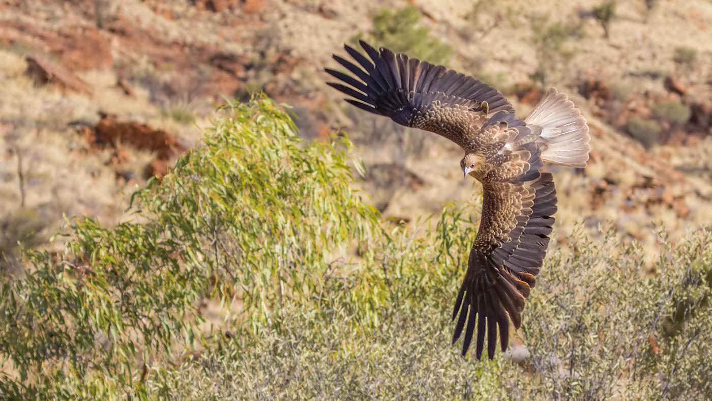 Whistling Kite (Image ID 33764)