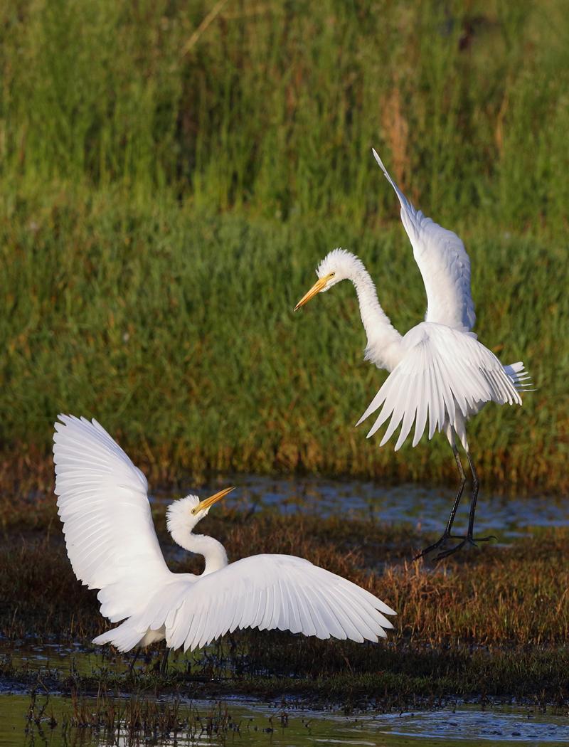 Intermediate Egret (Image ID 33762)