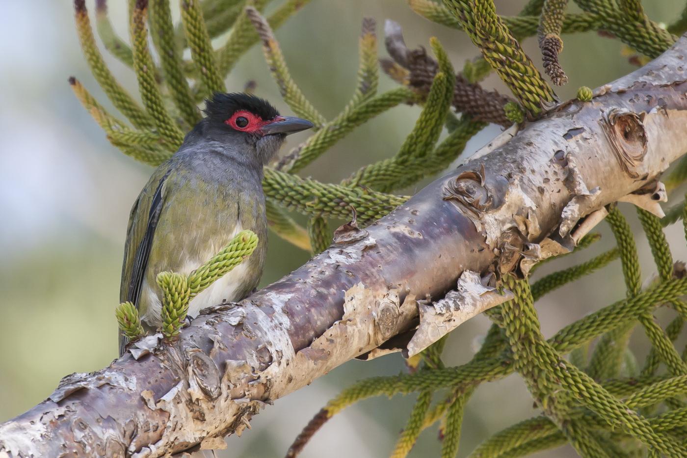 Australasian Figbird (Image ID 33876)