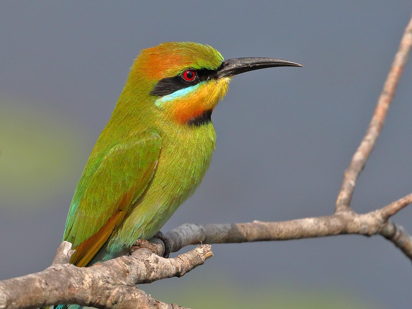 Rainbow Bee-eater (Image ID 33867)