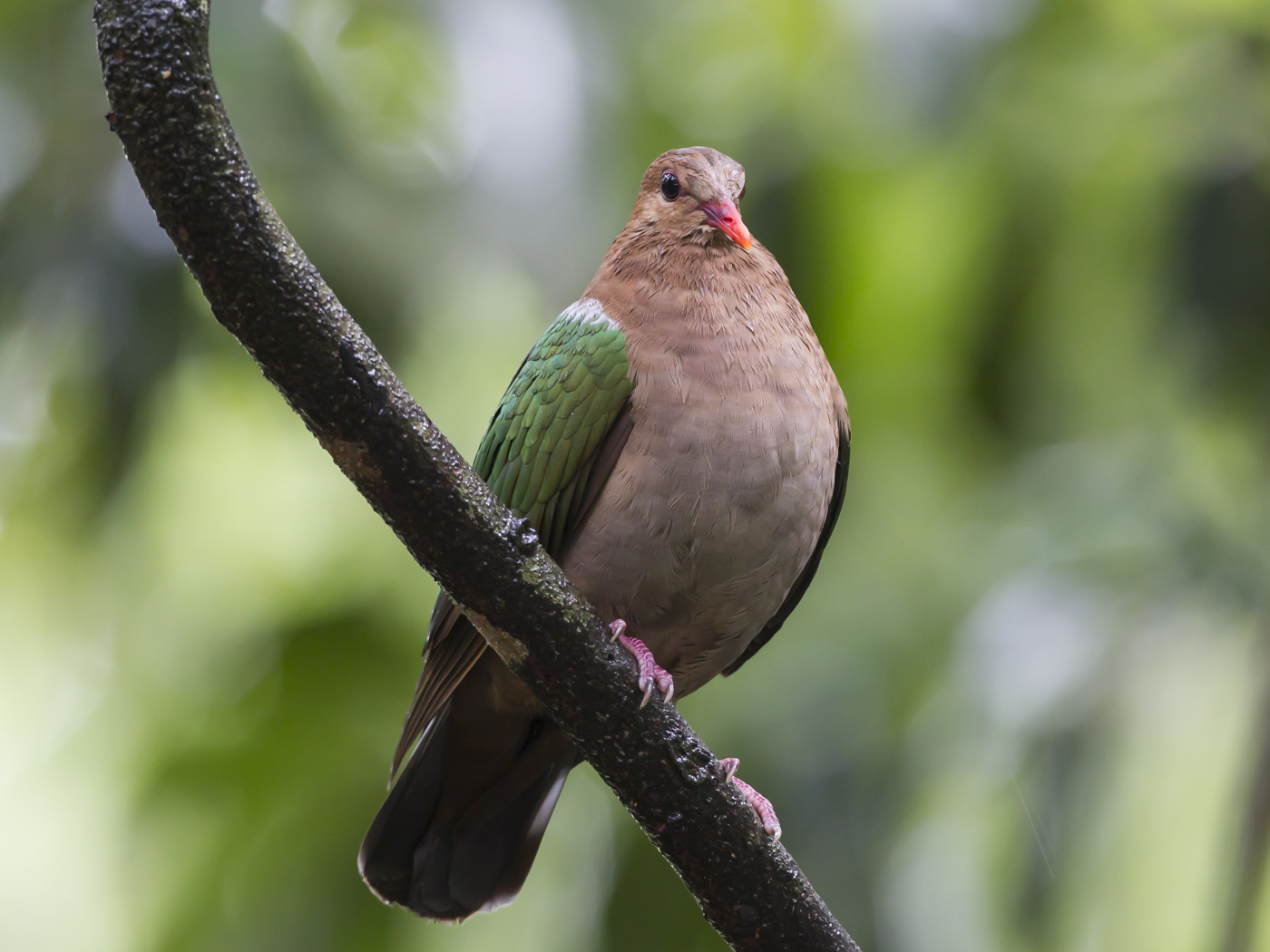 Brown-capped Emerald-Dove (Image ID 33637)