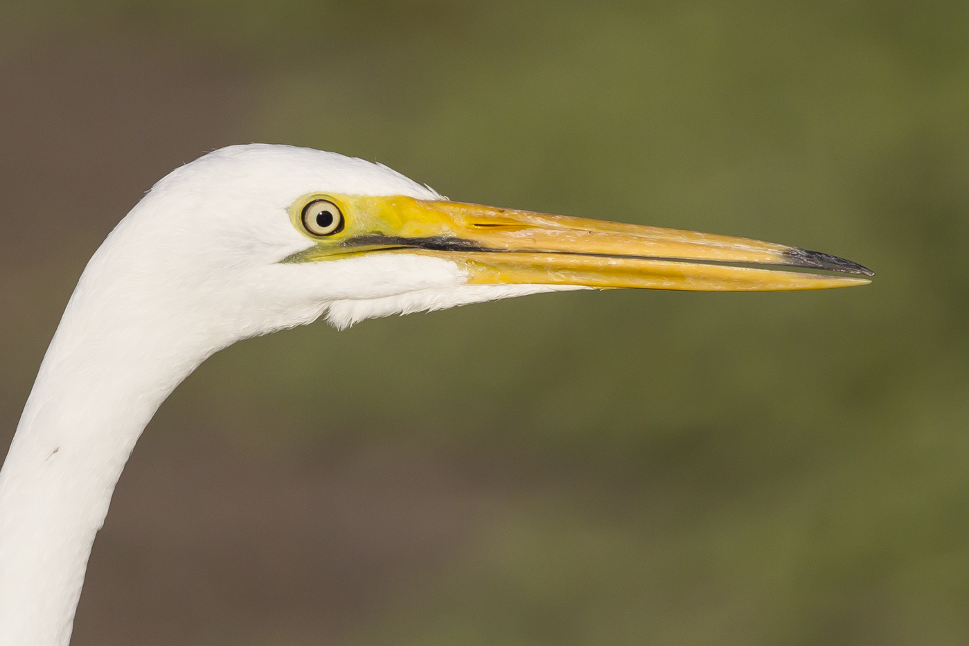 Great Egret (Image ID 33841)