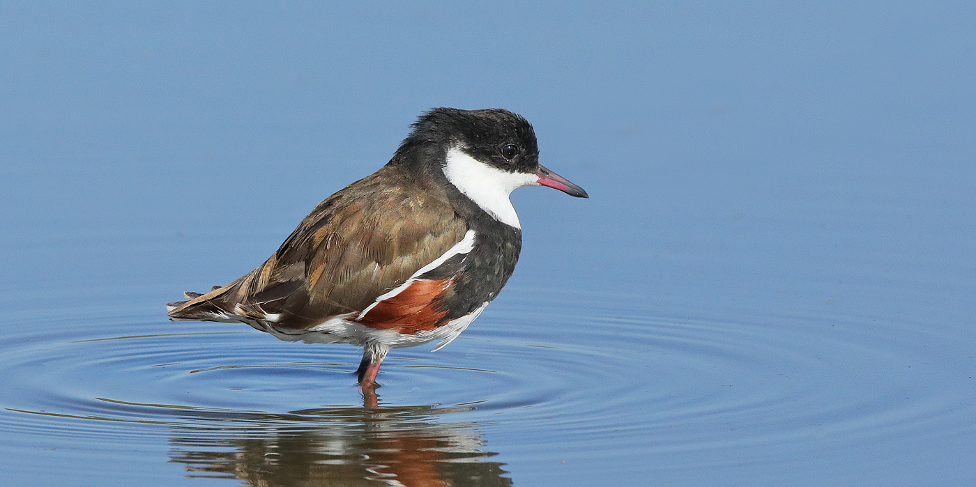 Red-kneed Dotterel (Image ID 33262)