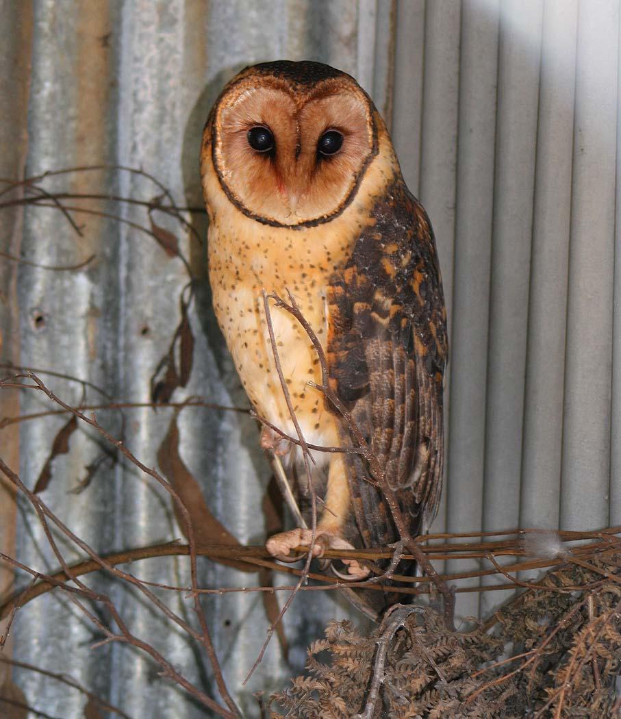 Masked Owl (Image ID 33546)