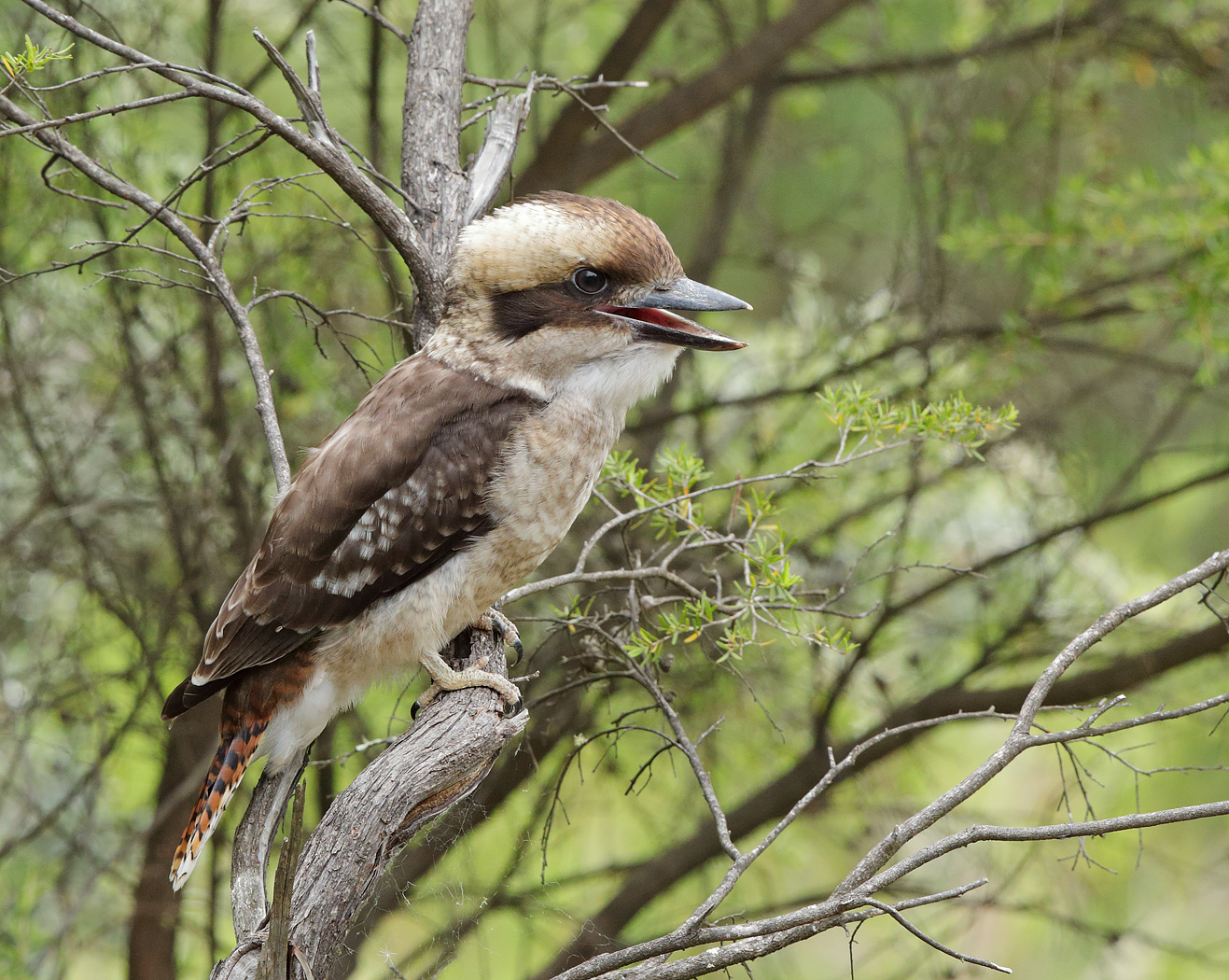 Laughing Kookaburra (Image ID 33383)