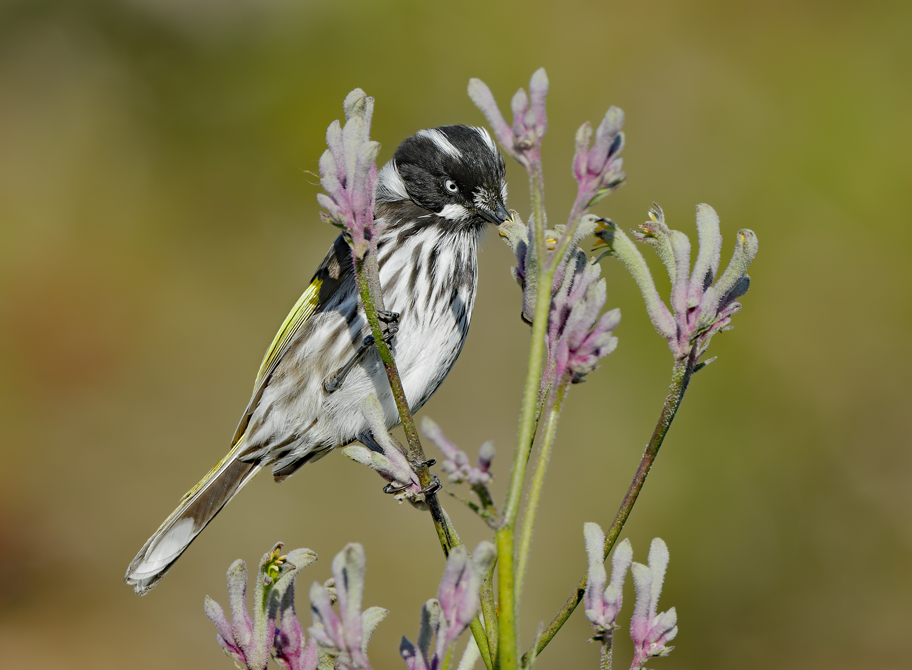 New Holland Honeyeater (Image ID 33768)