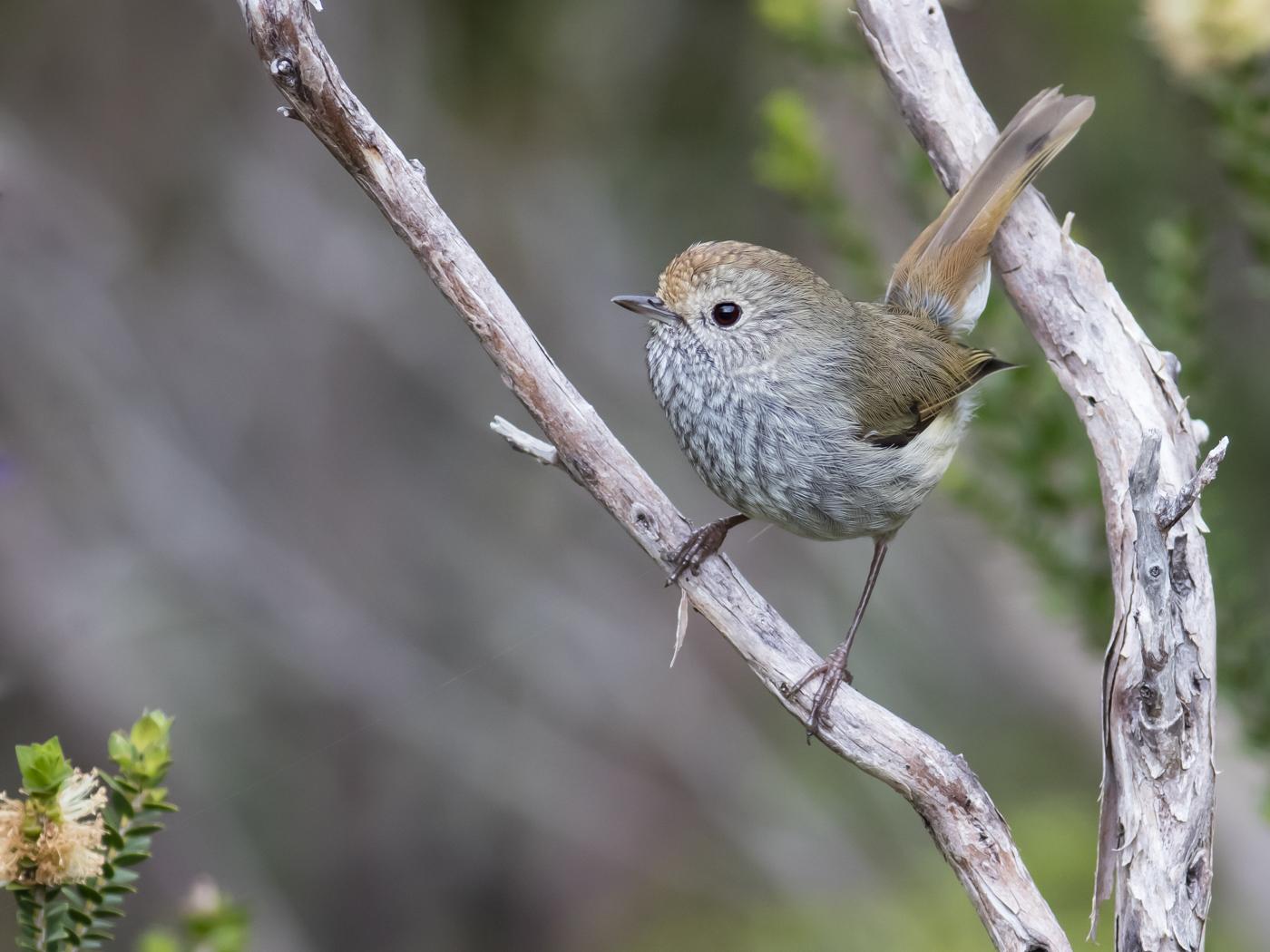 Tasmanian Thornbill