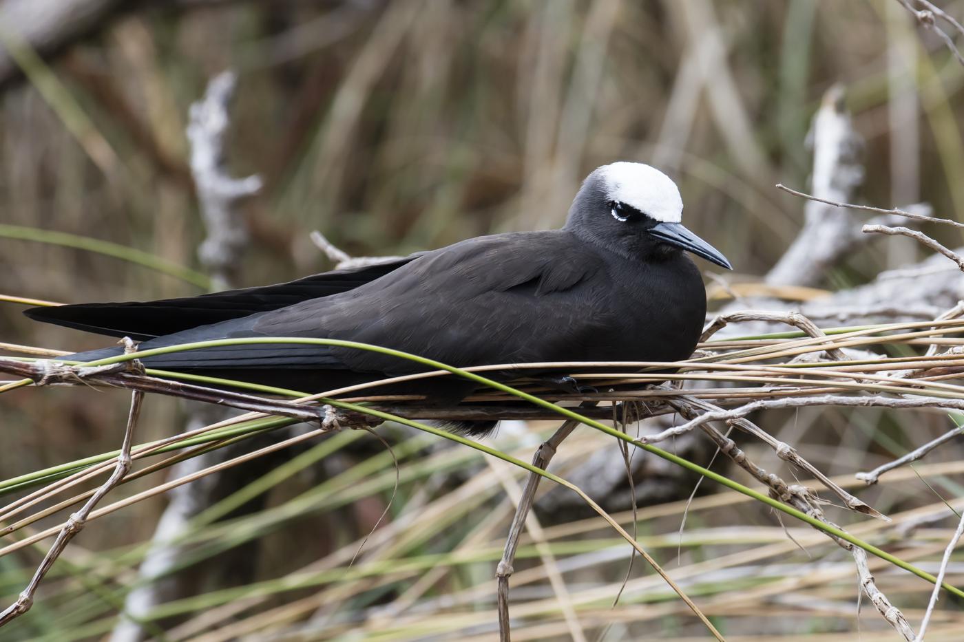 Black Noddy (Image ID 33745)