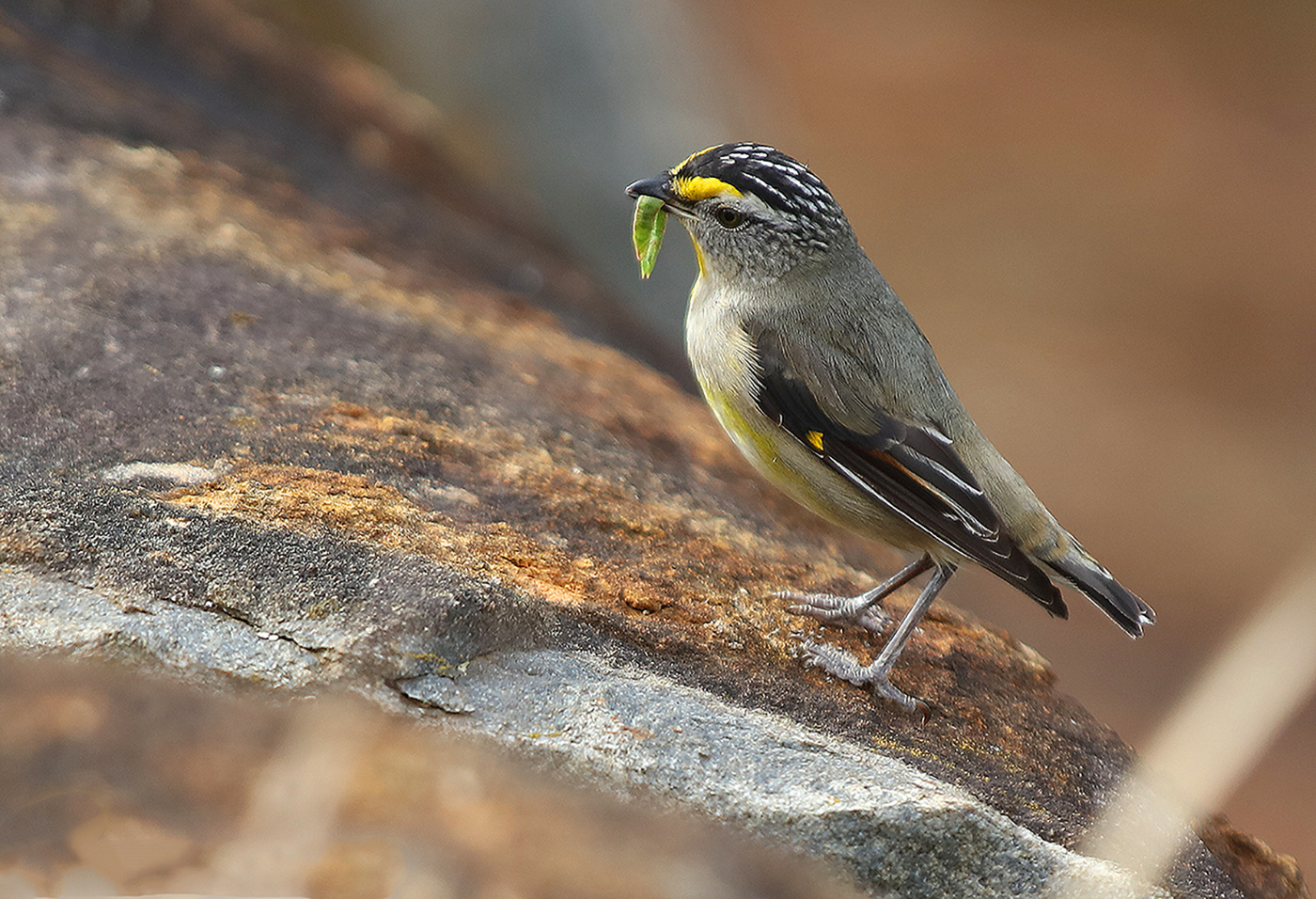 Striated Pardalote (Image ID 33717)