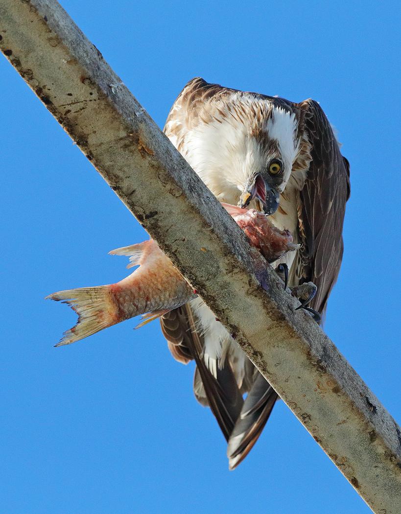 Osprey (Image ID 33804)